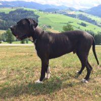 Deutsche Dogge sucht dringend ein zu Hause