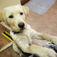Junger Labrador Rüde sucht einen neuen Futerspender!!